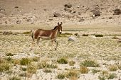 stock photo of wild donkey  - Tibetan wild donkey at highland pasturage - JPG