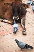 Holy cow and pigeons at Durbar Square. Nepal
