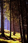 Autumn Coniferous Forest