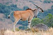 Eland antelope (Taurotragus oryx) - largest antelope of southern Africa