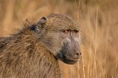 Portrait of a Chacma baboon (Papio hamadryas), Kruger National Park, South Africa