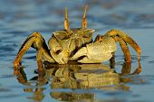 Ghost crab (Ocypode sp.) on the beach, Mozambique, southern Africa
