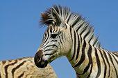 Portrait of a Plains (Burchell's) Zebra (Equus quagga), Mokala National Park, South Africa