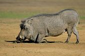 A big male warthog (Phacochoerus africanus) feeding, South Africa