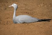Endangered Blue crane (Anthropoides paradisea), National bird of South Africa
