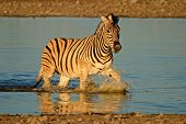 Plains (Burchell's) Zebra (Equus quagga) walking in water, late afternoon, Etosha National Park, Nam