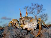 Ghost crab (Ocypode spp.) on coastal rocks, Mozambique, southern Africa