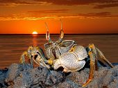 Ghost crab (Ocypode spp.) on coastal rocks against a red sunset, Mozambique