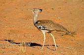 Kori bustard (Ardeotis kori) - largest flying bird in the world, Kalahari desert, South Africa