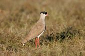 Crowned plover (Vanellus coronatus) standing in grassland, Etosha National Park, Namibia, southern Africa