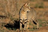 An African wild cat (Felis silvestris lybica), South Africa