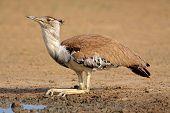 Kori bustard (Ardeotis kori) drinking water at a waterhole, Kalahari desert, South Africa
