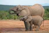 Drinking African elephants (Loxodonta africana), Addo Elephant National park, South Africa