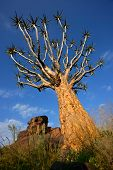 Quiver tree (Aloe dichotoma) against a blue sky, Namibia, southern Africa