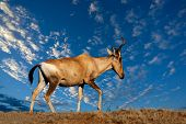 Red hartebeest (Alcelaphus buselaphus) against a blue sky with clouds, South Africa