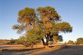 African landscape with a camelthorn Acacia tree (Acacia erioloba), Kalahari, South Africa