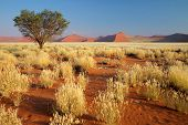 Desert landscape with  grasses, red sand dunes and an African Acacia tree, Sossusvlei, Namibia, sout