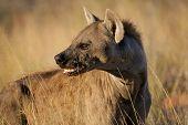Portrait of a spotted hyena (Crocuta crocuta), Kalahari, South Africa