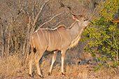 Feeding Kudu antelope (Tragelaphus strepsiceros), Kruger National Park, South Africa