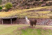 Peruvian  Vicuna.