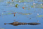 Large saltwater crocodile, Yellow water billabong, Kakadu National Park, Northern Territory, Austral