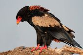 Bateleur eagle (Terathopius ecaudatus) perched on a branch, Kruger National Park, South Africa