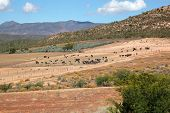 Landscape view of an ostrich farm, Karoo region, Western Cape, South Africa
