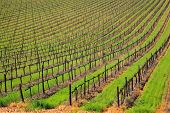 Rows of vines and green grass of a vineyard, Cape Town area, South Africa