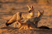 Cape foxes (Vulpes chama) at their den in early morning light, (Kalahari desert, South Africa