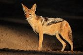 Black-backed Jackal (Canis mesomelas) in early morning light, Kalahari desert, South Africa