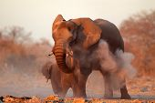 Large African elephant (Loxodonta africana) covered in dust, Etosha National Park, Namibia