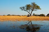African landscape with an Acacia tree reflected in water, Kwando river, Namibia