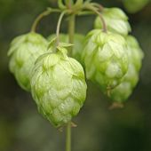 stock photo of bine  - Ripe hop cones branch taken closeup - JPG
