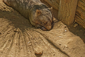 picture of wombat  - an adult wombat resting on the dirt - JPG