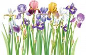 stock photo of purple iris  - Border of multicolor Iris flowers - JPG