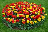 Red And Yellow Tulips Garden