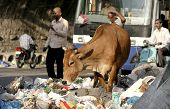 Cow try to eat in the roadside garbage in a busy road
