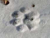 Footprint Of Tiger