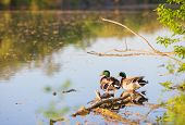 foto of mating animal  - Beautiful male or drake duck swimming on a pond - JPG