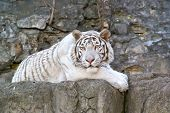 picture of albinos  - Rare tiger albino in the open - JPG