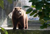 Brown Bear In The Zoo
