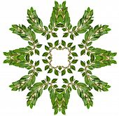 Decoration abstract pattern of fresh laurel bay leaves isolated