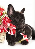 french bulldog and bouquet flowers