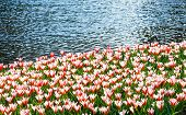 Red-white Tulips Near Pond