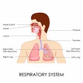 foto of larynx  - vector illustration of diagram of respiratory system - JPG