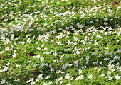 Bed Of White Windflowers At Spring Time