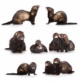 stock photo of ferrets  - set of ferrets on white background together - JPG