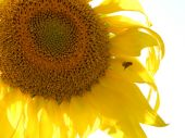 picture of libido  - bee collecting pollen from sunflower - JPG