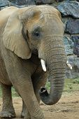 Asian elephant at Colchester Zoo