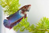 picture of siamese fighting fish  - Colorful siamese fighting fish in aquarium water - JPG